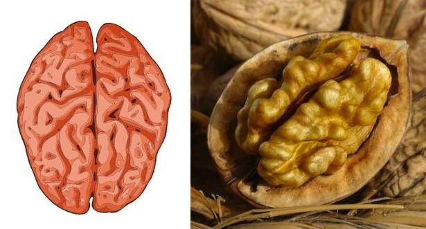 cerveau-noix